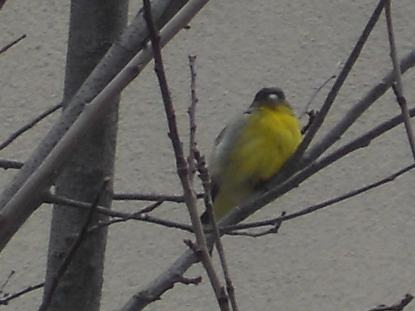Lesser Goldfinch - edited photo exported from iPhoto